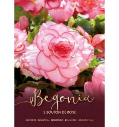 BEGONIJOS DOUBLE BOUTON DE ROSE