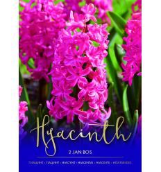HIACINTAI JAN BOS 73261