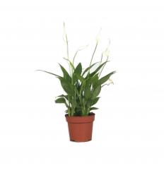 Spathiphyllum - Vėzdūnė