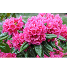 RODODENDRAS DR.HC DRESSELHUYS