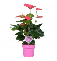 ANTURIS (ANTHURIUM) MIX 12Ø 30H
