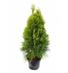 TUJA VAKARINĖ GOLDEN SMARAGD THUJA OCCIDENTALIS