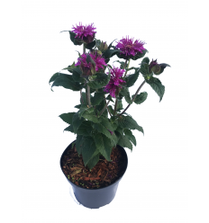 MONARDA PURPLE LACE