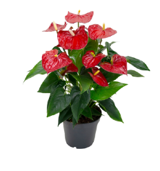 ANTURIS (ANTHURIUM) KAMA RED 17Ø60H
