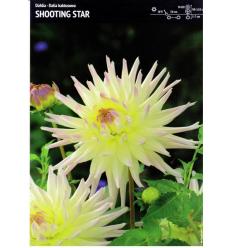 JURGINAI KAKTUSINIAI SHOOTING STAR