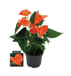 ANTURIS (ANTHURIUM) PRINCE ORANGE 12Ø40H