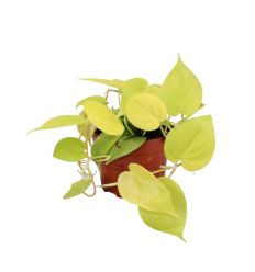 FILODENDRAS (PHILODENDRON) LIME 12Ø