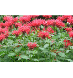 MONARDA JACOB CLINE BORDO