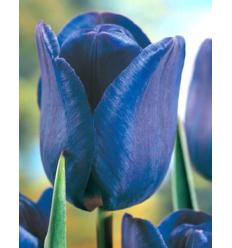 TULPĖS BLUE AIMABLE 43311