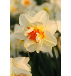 NARCIZAI FLOWER DRIFT
